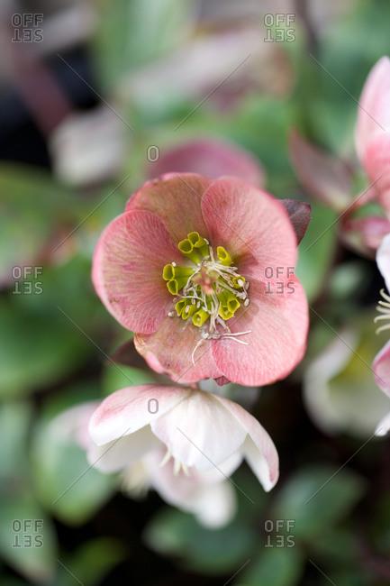 Fresh pink flower head