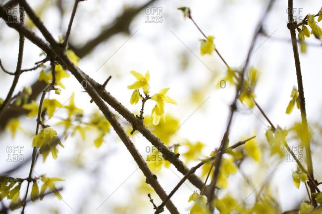 Yellow forsythia flower branches