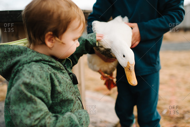 Boy touching a white goose