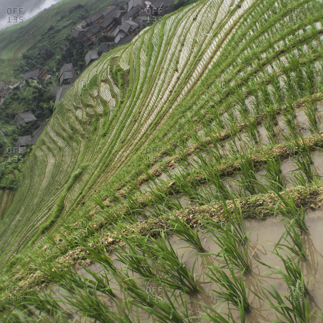 Rice terraces in Guanxi Province, China