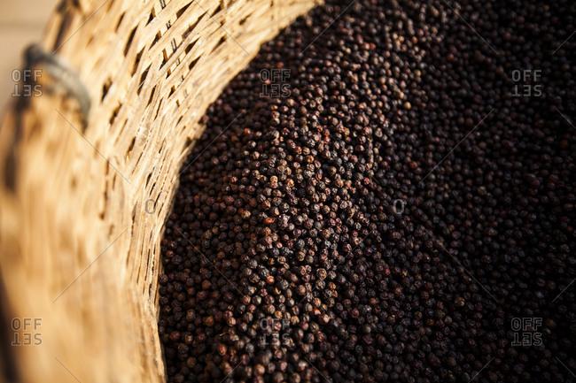 Fresh black pepper on a pepper farm on Phu Quoc island, Vietnam
