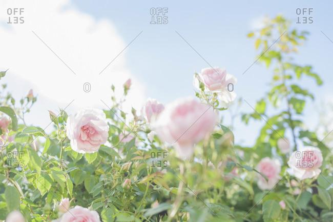 Roses, Rosa, close up view