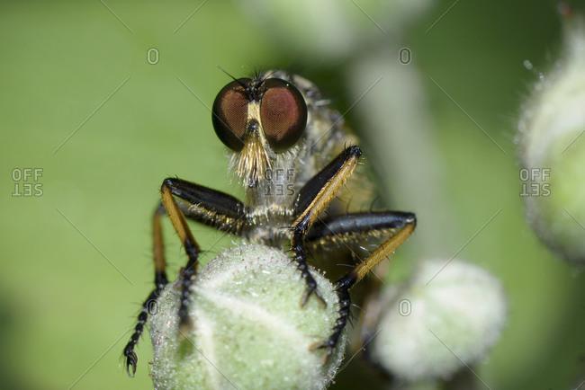 Robber fly, Neoitamus cyanurus, close-up