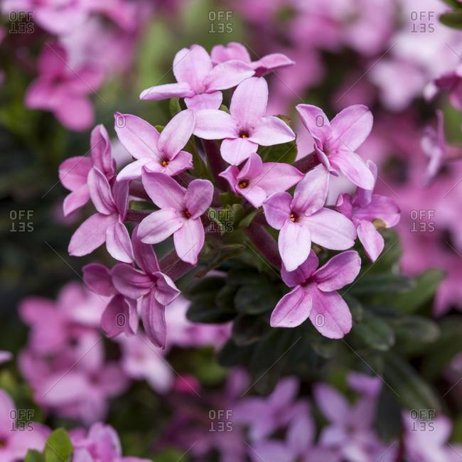 Garland flower, Daphne cneorum