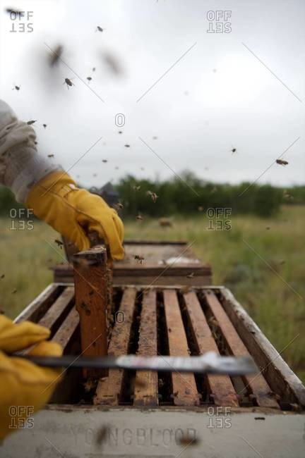 Apiarist removing frame from the beehive