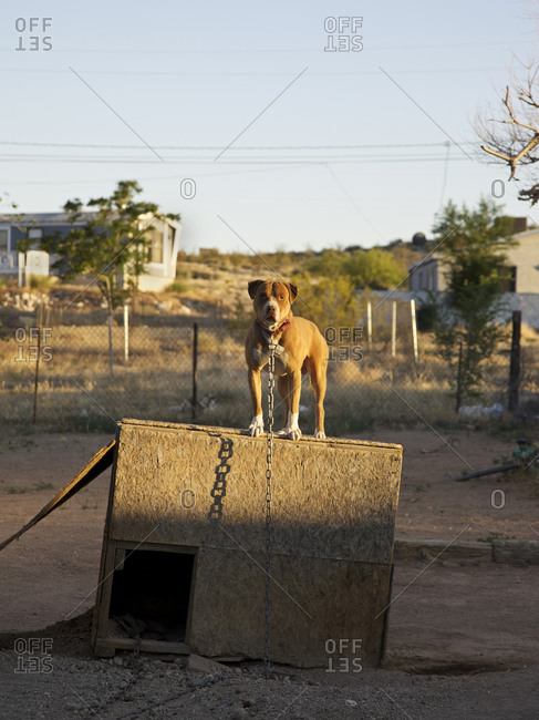 Chained pitbull on top of doghouse in dirt lot