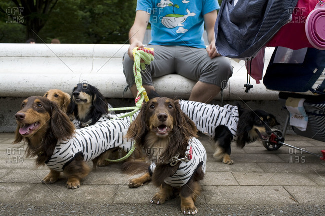 June 20, 2010 - Tokyo, Japan: Man with long haired dachshunds