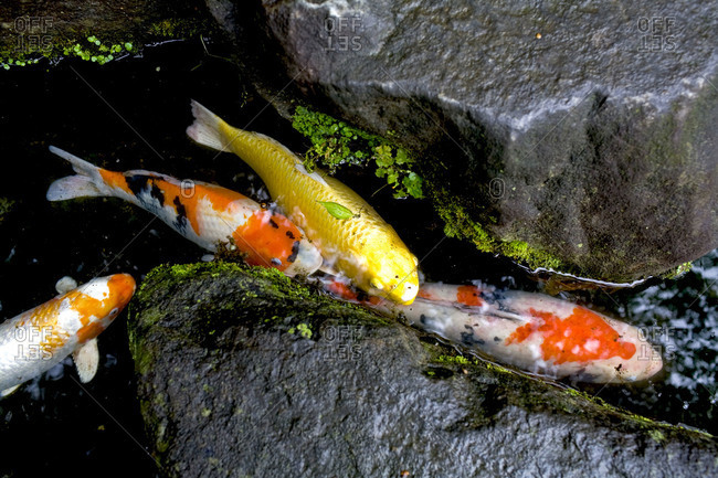 Koi fish in a pond in Tokyo, Japan