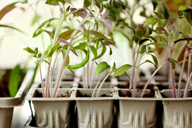 Tray of growing seedlings
