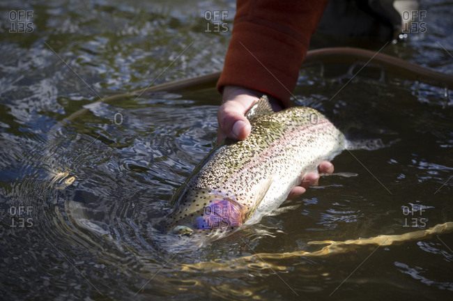 Close up of man holding rainbow trout in water