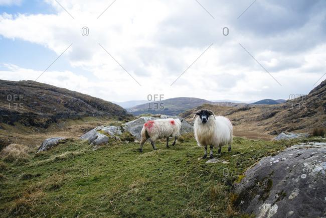 Sheep in mountainous landscape