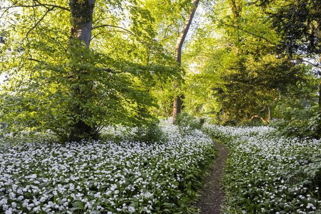 Flowers in a woods near Badbury Hill