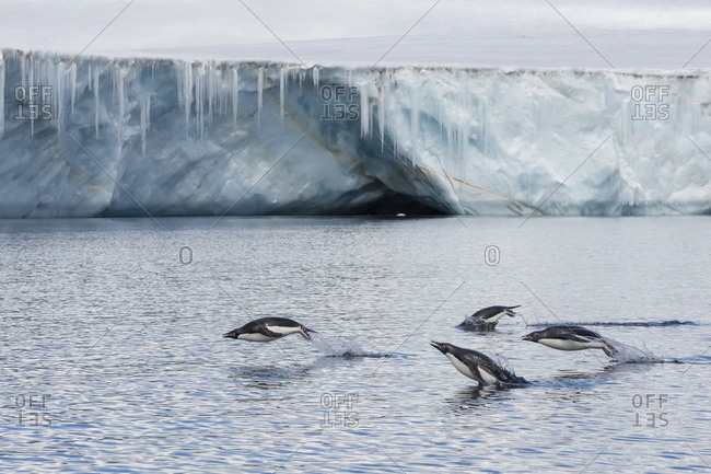 Porpoising adult Adelie penguins (Pygoscelis adeliae)