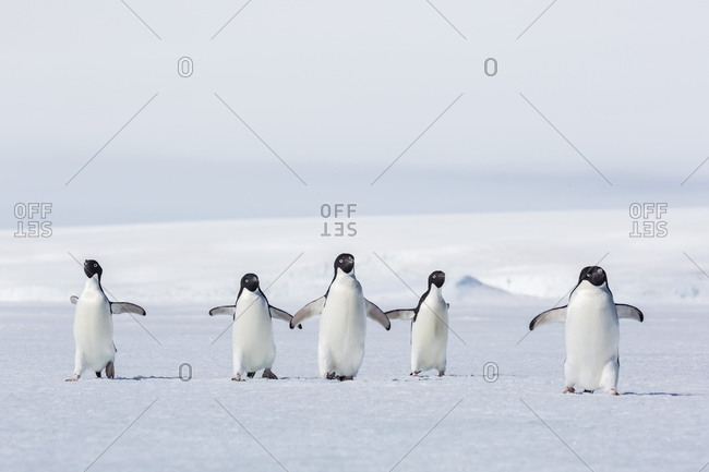 Adult Adelie penguins (Pygoscelis adeliae) walking on first year sea ice in Active Sound