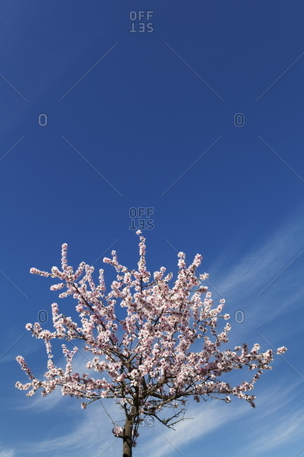 Blossoming almond tree against blue sky