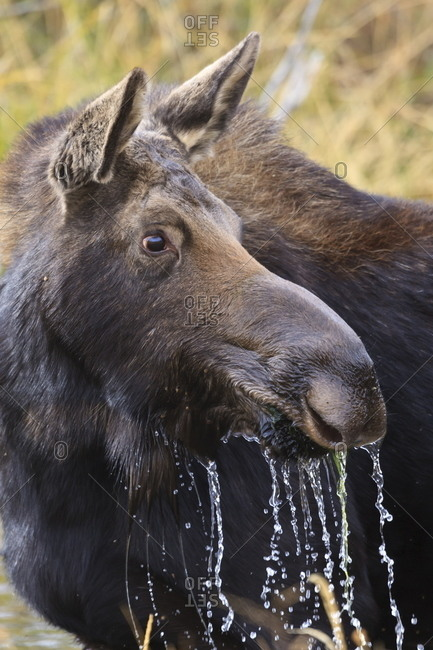 Moose (Alces alces) cow dribbles after feeding