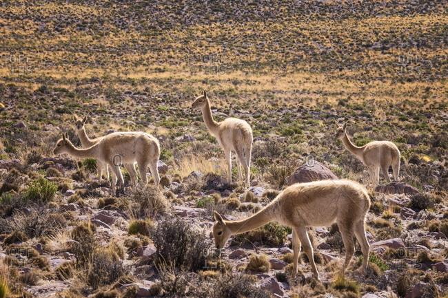 Vicuna (Vicugna vicugna) camelids grazing on desert vegetation