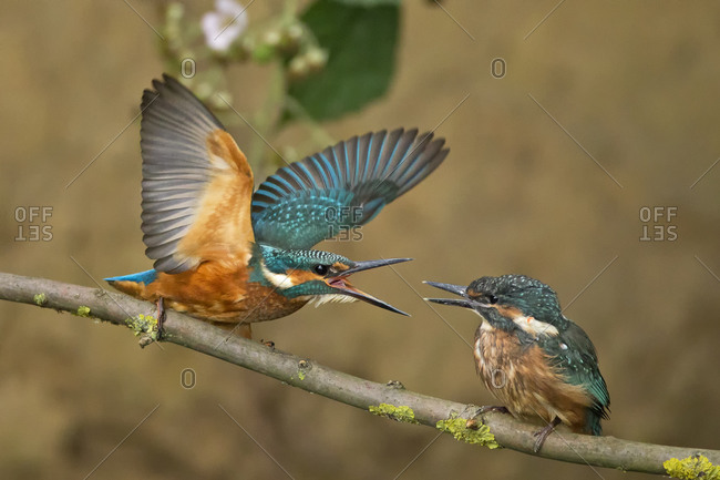 Common kingfishers, Alcedo atthis, on branch