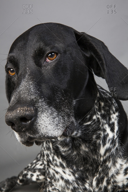 Portrait of German Shorthaired Pointer in front of grey background