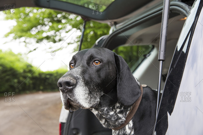 Portrait of German Shorthaired Pointer in opened car boot