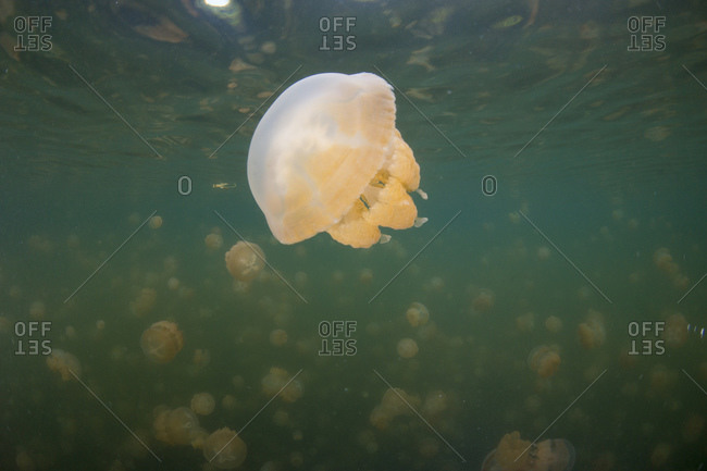 Spotted jellyfish, mastigias papua, in saltwater lake