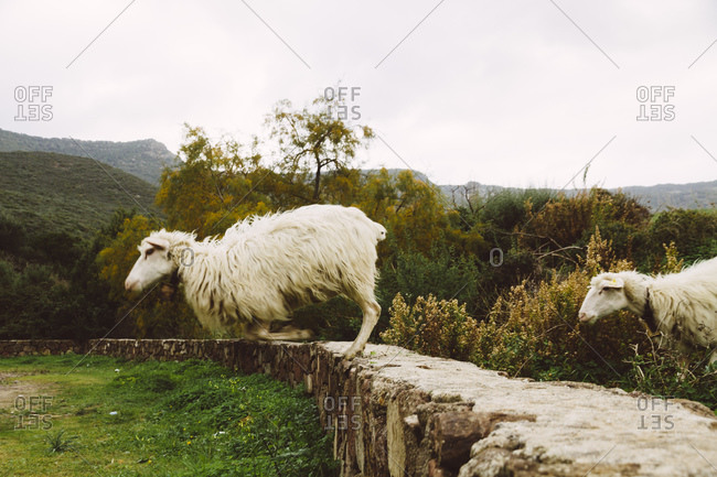 Sheep jumping from stone wall