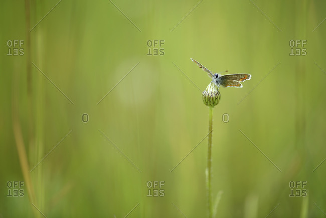 Brown argus, Aricia agestis, sitting on a bud