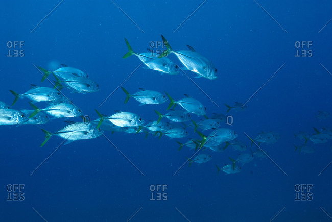 A school of horse-eye jacks (Caranx latus) off the Glovers Atoll reef in Belize