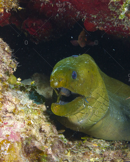 A green moray eel (Gymnothorax funebris) on the reef off Glovers Atoll in Belize