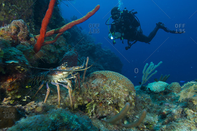 A scuba diver spots a Caribbean spiny lobster (Panulirus argus) on the reef off Glovers Atoll in Belize
