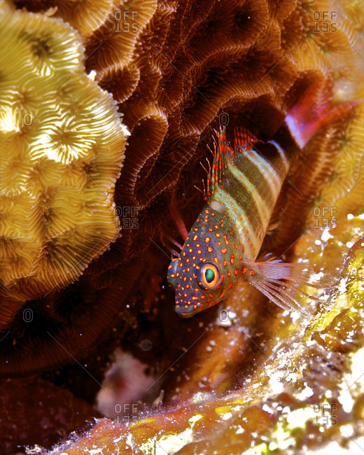 A saddled blenny (Malacoctenus triangulates) perched on coral