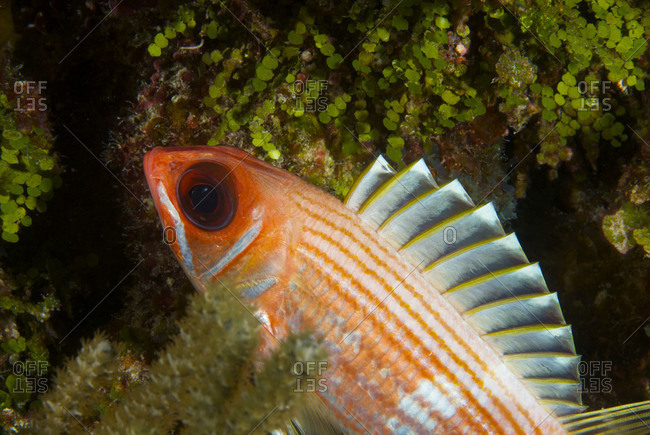 A longjaw squirrelfish (Holocentrus ascensions) swimming off the coral reef