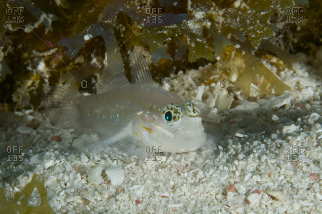 A bridled goby (Coryphopterus glaucofraenum) on the Belize Barrier Reef