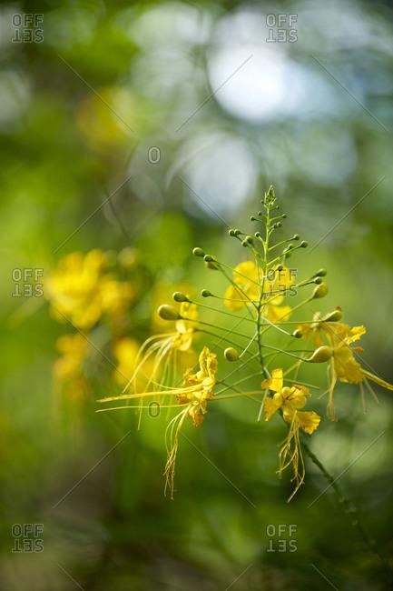 Yellow bird of paradise wildflowers (Caesalpinia pulcherrima) bloom in the Belize rain forest