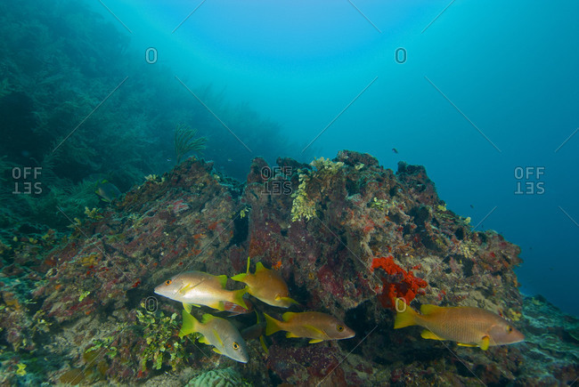 Schoolmaster snappers (Lutjanus apodus) schooling at Lime Caye Wall, a dive site in the Sapodilla Cayes Marine Reserve