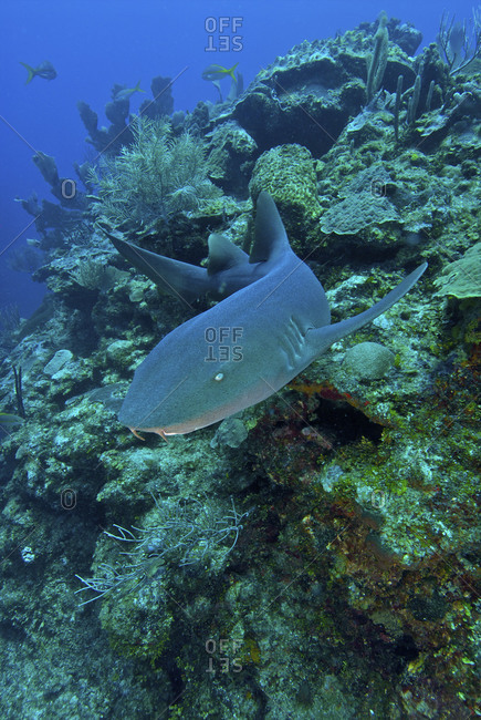 A nurse sharks (Ginglymostoma cirratum) patrols the barrier reef at the Esmeralda dive site off Ambergris Island