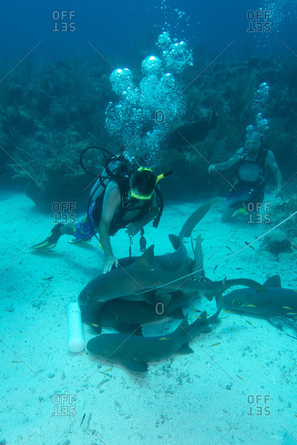 A diver pats feeding nurse sharks (Ginglymostoma cirratum) at the Esmeralda dive site off Ambergris Island