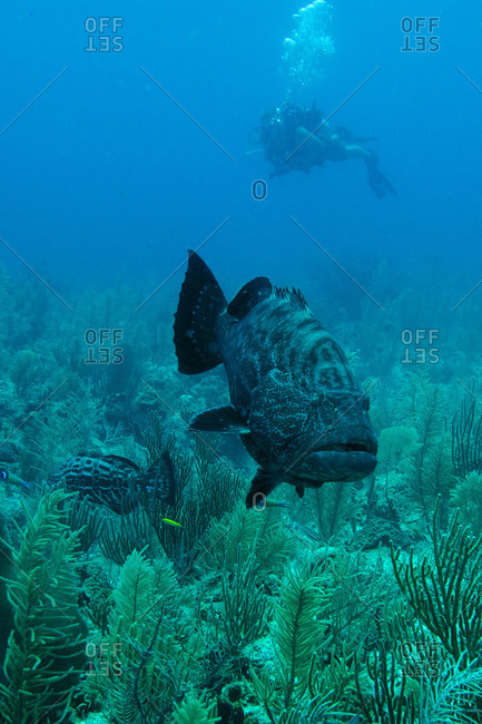 A scuba diver observes a pair of large black grouper (Mycteroperca bonaci) off Ambergris Caye, Belize