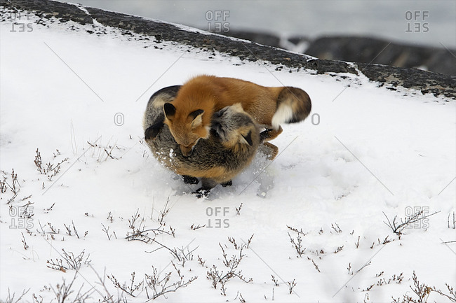 Two fox tangle in the snow