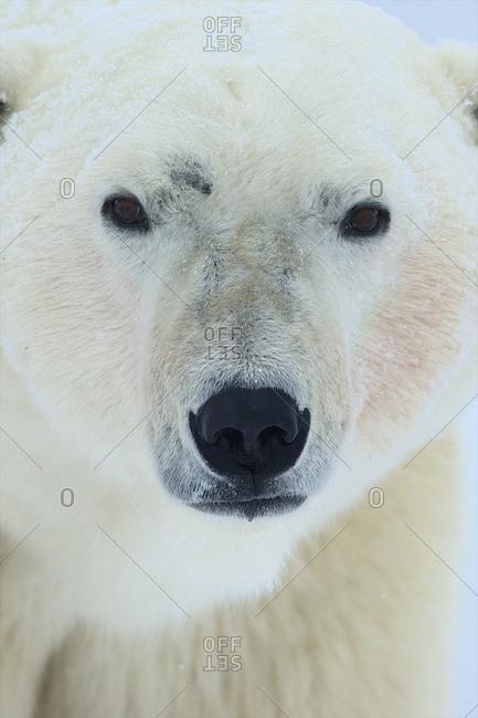 A close-up of a large polar bear