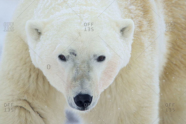The head of a large polar bear looks for where to go next