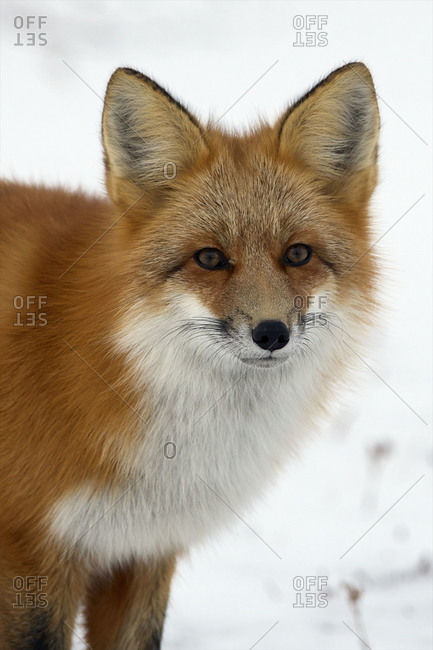 A red fox listens for movement under the snow