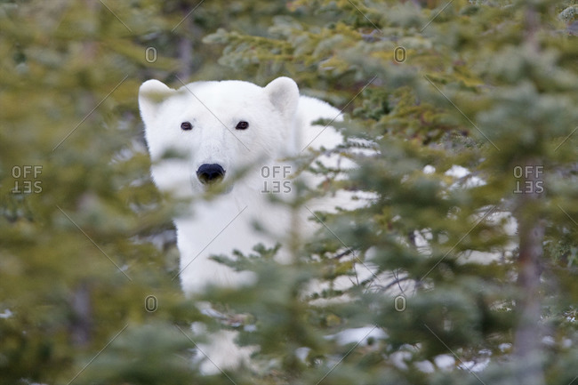 A polar bear sticks out against the green trees