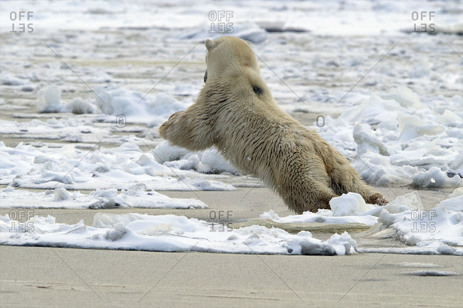 A polar bear reaches out as far as it can to avoid the icy water