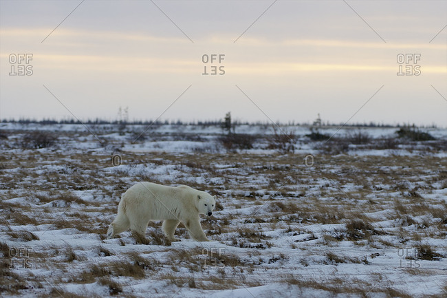 In the evening, a polar bears moves across the frozen tundra