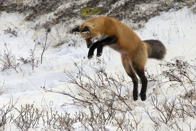 A red fox begins its pounce for a rodent under the snow