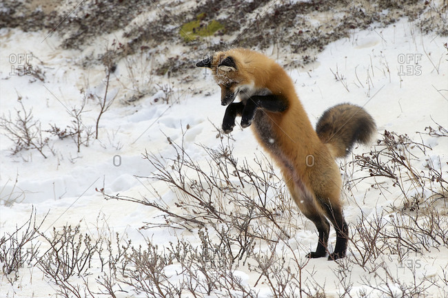 A red fox senses a rodent near, and leaves the ground to go after it