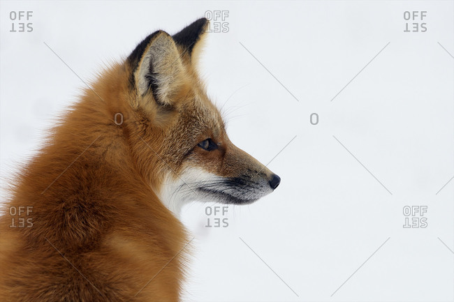 A red fox sits and looks to the right