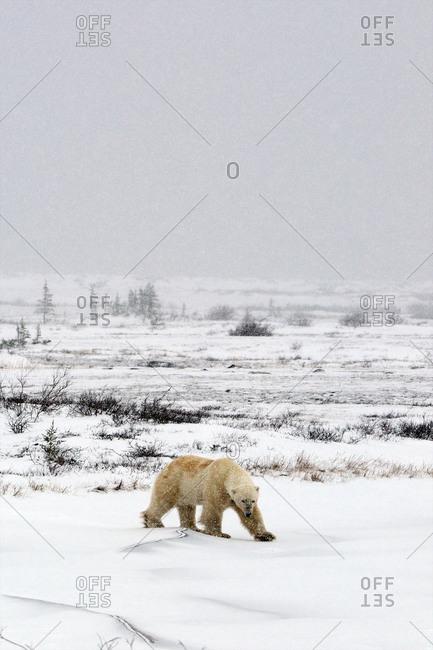 A polar bear moves across the tundra in a snow storm