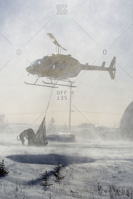A captured polar bear in a net gets relocated by helicopter